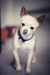 Cali, chien Chihuahua