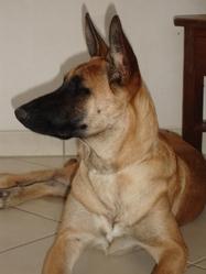 Cali, chien Berger belge