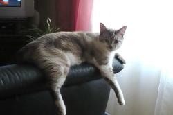 Cali, chat Siamois