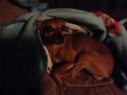 Cali, chien Pinscher