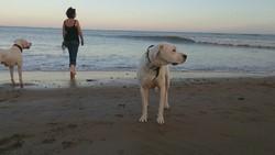 Cali Du Soleil Pampa, chien Dogue argentin