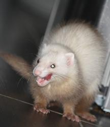 Calia, rongeur Furet