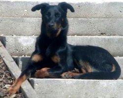 Calia La Maman, chien Beauceron