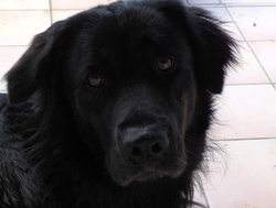 Calice, chien Terre-Neuve