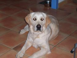 Calice, chien Golden Retriever