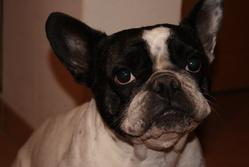 Calie, chien Bouledogue français
