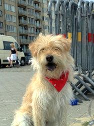 Calie, chien Berger des Pyrénées
