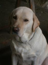 Calie, chien Labrador Retriever