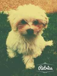 Calie, chien Bichon maltais