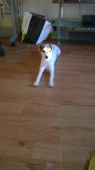 Calie, chien Fox-Terrier