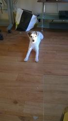 Calie, chien Fox-Terrier