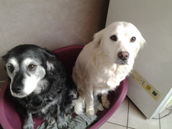Calie Et Louna, chien Labrador Retriever