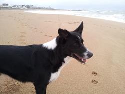 Calimero, chien Border Collie