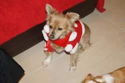 Calin, chien Chihuahua
