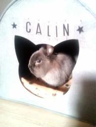 Calin, rongeur Lapin