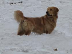 Calin, chien Golden Retriever