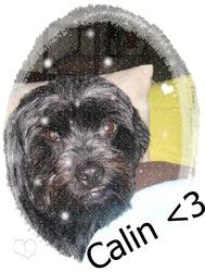 Calin, chien Shih Tzu