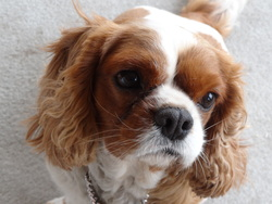 Calin, chien Cavalier King Charles Spaniel