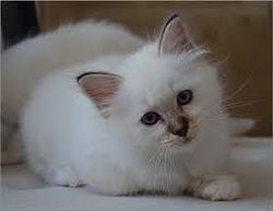 Calin Qui A était Adopter, chat Birman