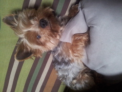 Calin, chien Yorkshire Terrier