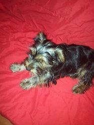 Calin, chien Yorkshire Terrier