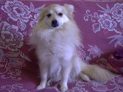 Calin, chien Spitz allemand