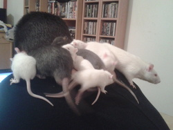 Câlin Collectif, rongeur Rat