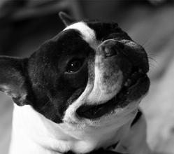 Calin Du Domaine De Couroules, chien Bouledogue français
