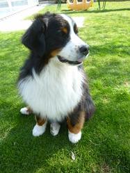 Calina, chien Bouvier bernois