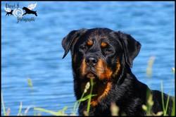 Caline, chien Rottweiler