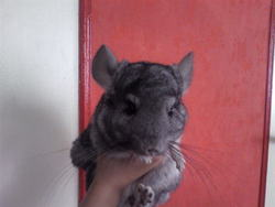 Caline, rongeur Chinchilla