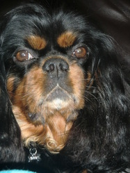Caline, chien Cavalier King Charles Spaniel