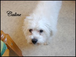 Caline , chien Coton de Tuléar
