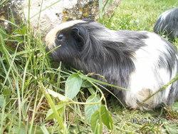 Câline, rongeur Cochon d'Inde
