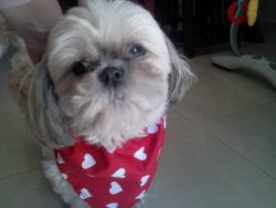 Caline, chien Shih Tzu