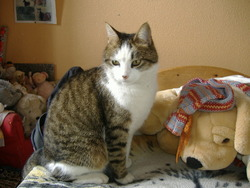 Caline, chat Européen