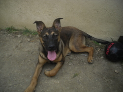 Caline, chien Berger allemand