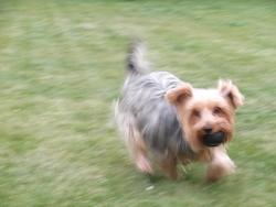 Caline, chien Silky Terrier