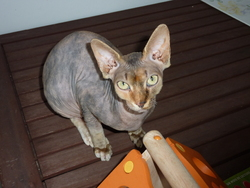 Caline, chat Sphynx