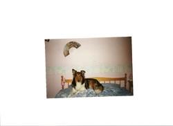 Caline, chien Colley à poil long