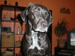 Caline, chien Braque allemand à poil court