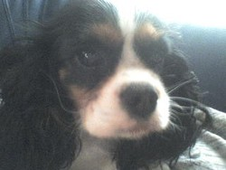 Caline, chien Cavalier King Charles Spaniel