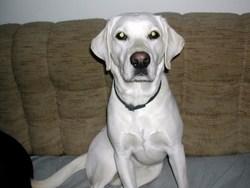 Câline, chien Labrador Retriever
