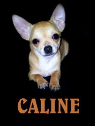 Caline, chien Chihuahua