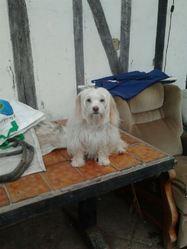 Caline, chien Bichon maltais
