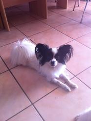 Caline, chien Épagneul nain continental