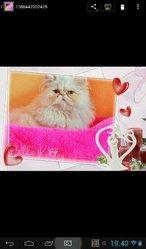 Caline, chat Persan