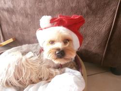 Câline, chien Yorkshire Terrier