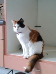 Caline, chat Angora turc