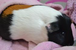 Caline , rongeur Cochon d'Inde